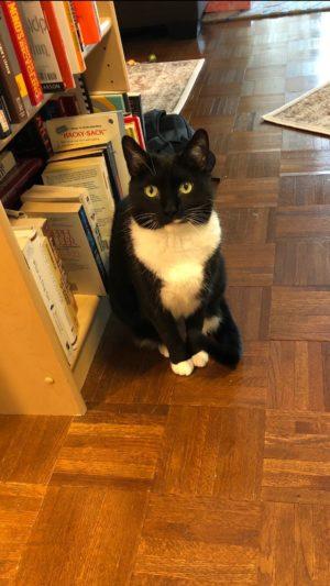 Billysky the beautiful tuxedo cat in her new home